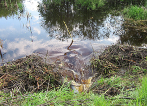 Photo of a beaver dam blocking a culvert.